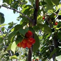 Cerezas riquísimas en el predio del Complejo Las Lengas